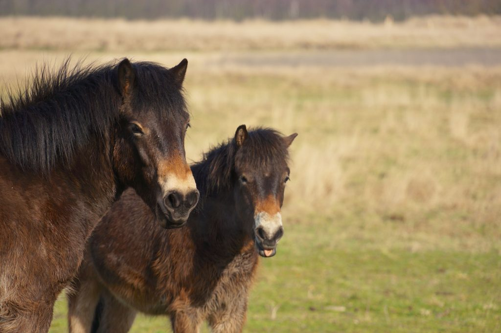 Exmoor pony op Loozerheide